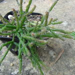 Rhipsalis_coralloides.jpg