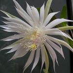 epiphyllum_strictum2.jpg