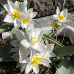 tulipa_polychroma.jpg