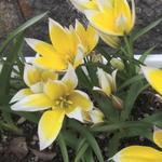tulipa_tarda.jpg