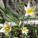 tulipa_turkestanica.jpg